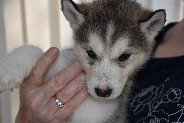Image 2 of Alaskan Malamute puppies for sale, ready in 3 weeks time.