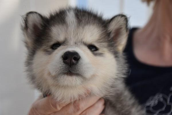 Image 3 of Alaskan Malamute puppies for sale, ready in 3 weeks time.