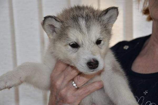 Image 5 of Alaskan Malamute puppies for sale, ready in 3 weeks time.