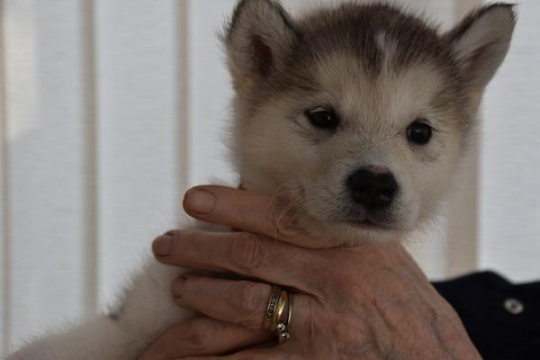 Image 8 of Alaskan Malamute puppies for sale, ready in 3 weeks time.