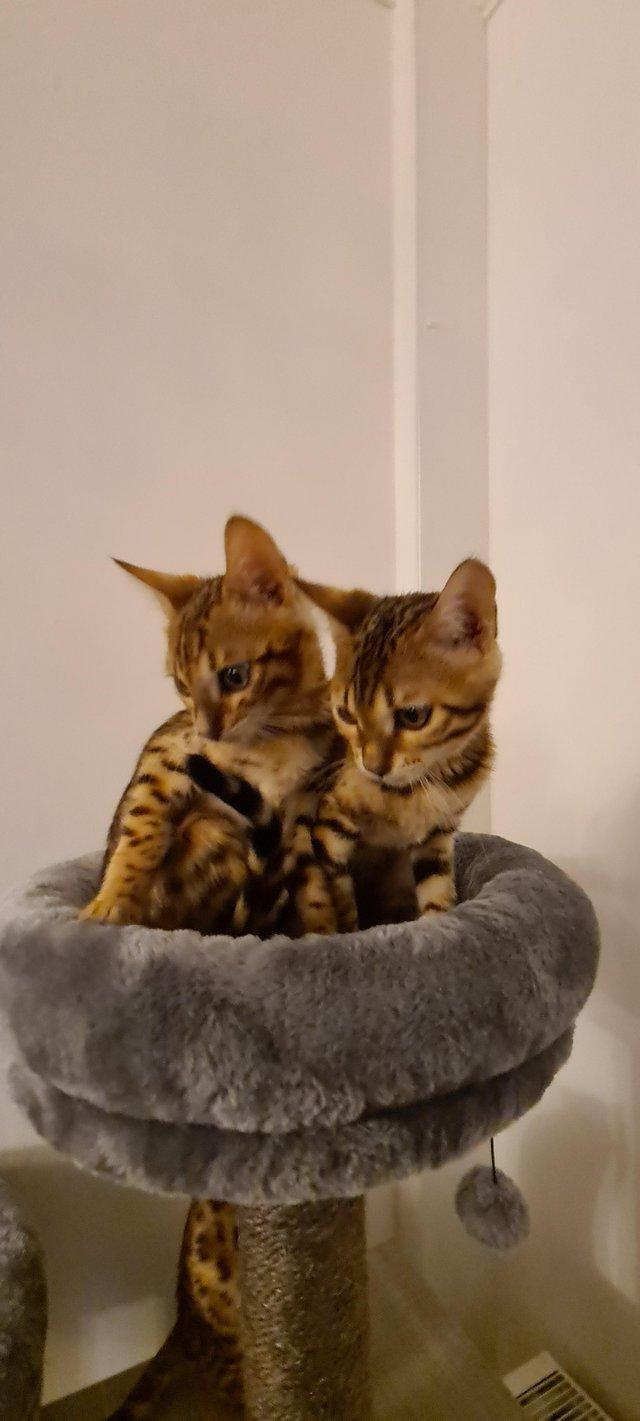 Image 9 of Beautiful Bengal kittens ready to go NOW