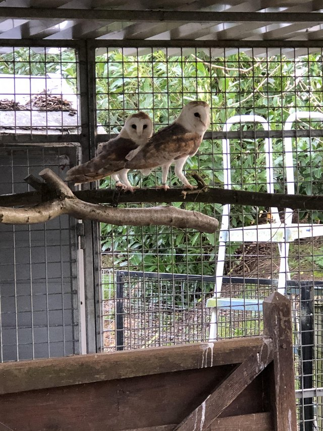 Image 3 of A lovely Proven pair barn owls.