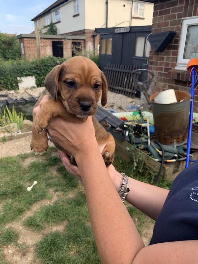 Image 3 of Lakeland x jack Russel pups for sale