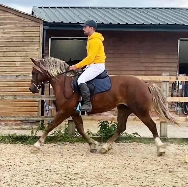 Image 3 of *STUNNING* Show Type, Full up Welsh C Project Gelding