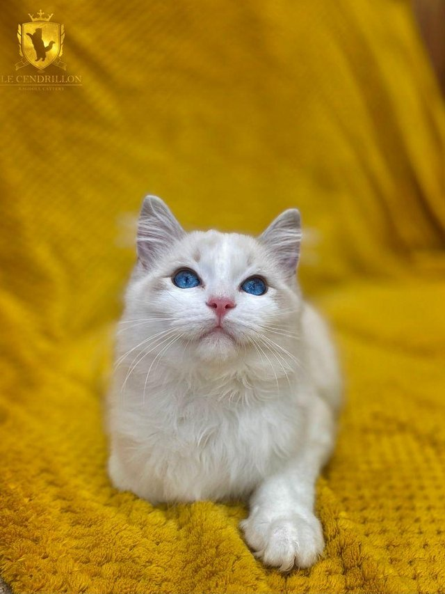 Preview of the first image of Sweet GCCF Reg Blue Tabby Bicolour Ragdoll Boy.