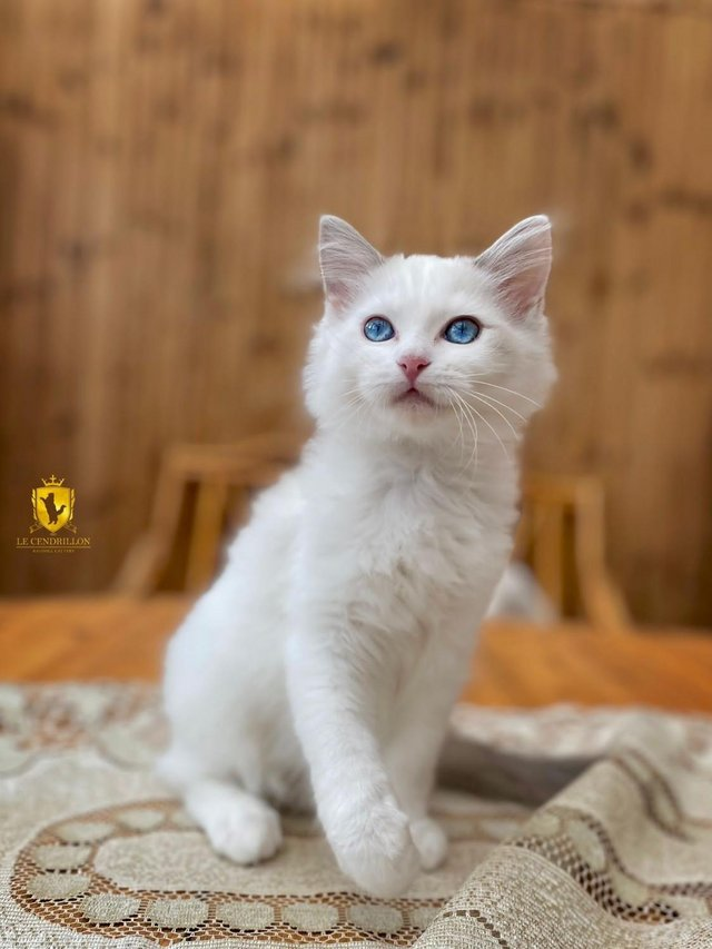 Preview of the first image of Adorable GCCF Reg Blue Bicolour Ragdoll Boy.