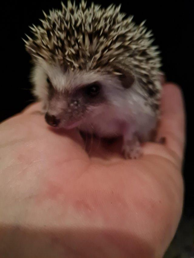 Image 2 of African pygmy hedgehogs Beautiful pinto babies