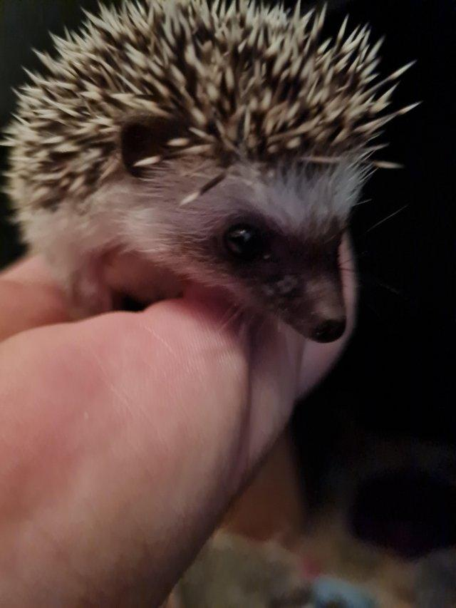 Image 3 of African pygmy hedgehogs Beautiful pinto babies