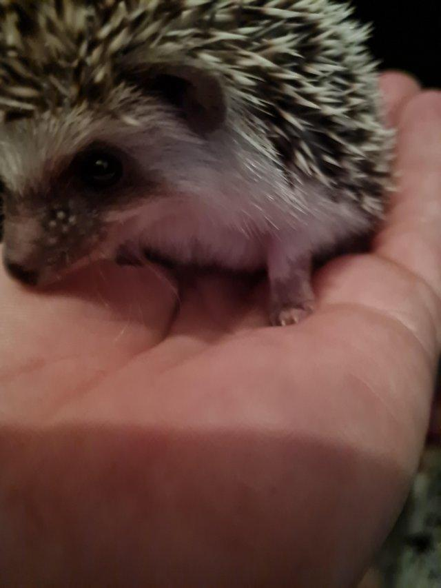 Image 5 of African pygmy hedgehogs Beautiful pinto babies