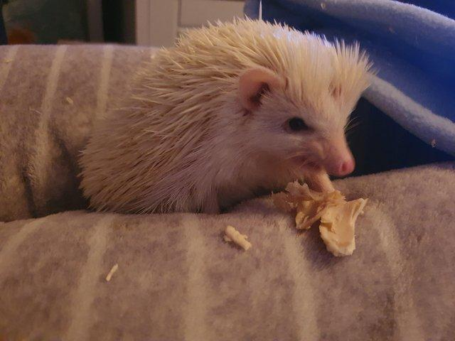 Preview of the first image of 1 year old African pygmy hedgehog.