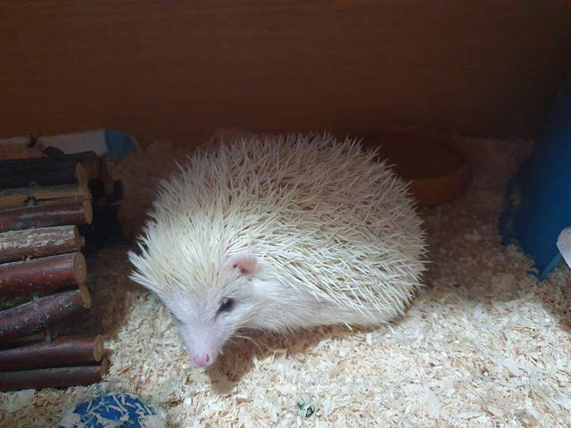 Image 2 of 1 year old African pygmy hedgehog