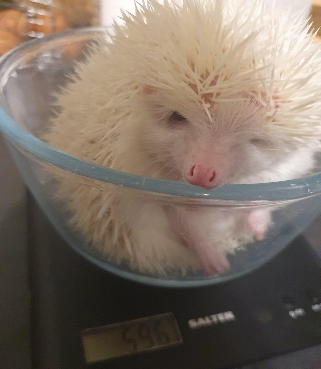 Image 3 of 1 year old African pygmy hedgehog