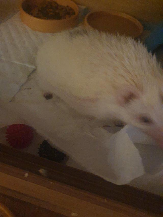 Image 4 of 1 year old African pygmy hedgehog