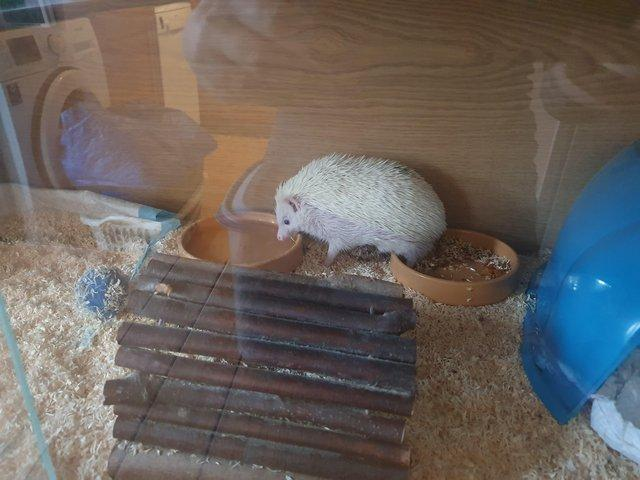 Image 5 of 1 year old African pygmy hedgehog