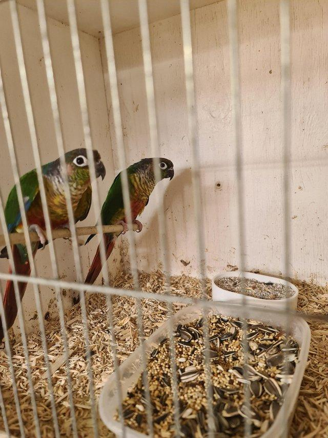 Preview of the first image of Bond pair of green cheek conures.