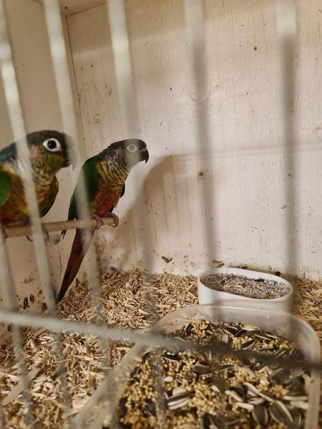 Image 3 of Bond pair of green cheek conures