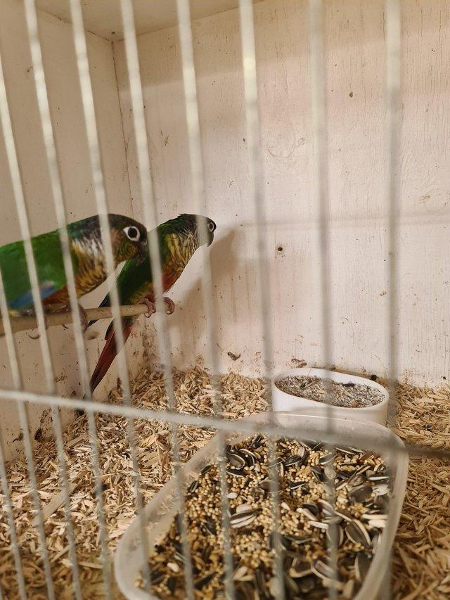 Image 4 of Bond pair of green cheek conures