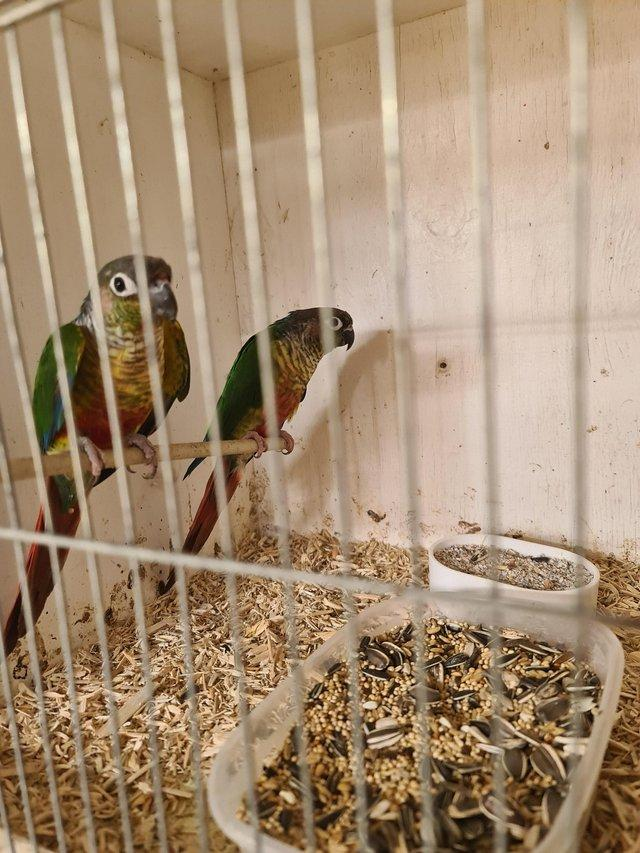 Image 5 of Bond pair of green cheek conures