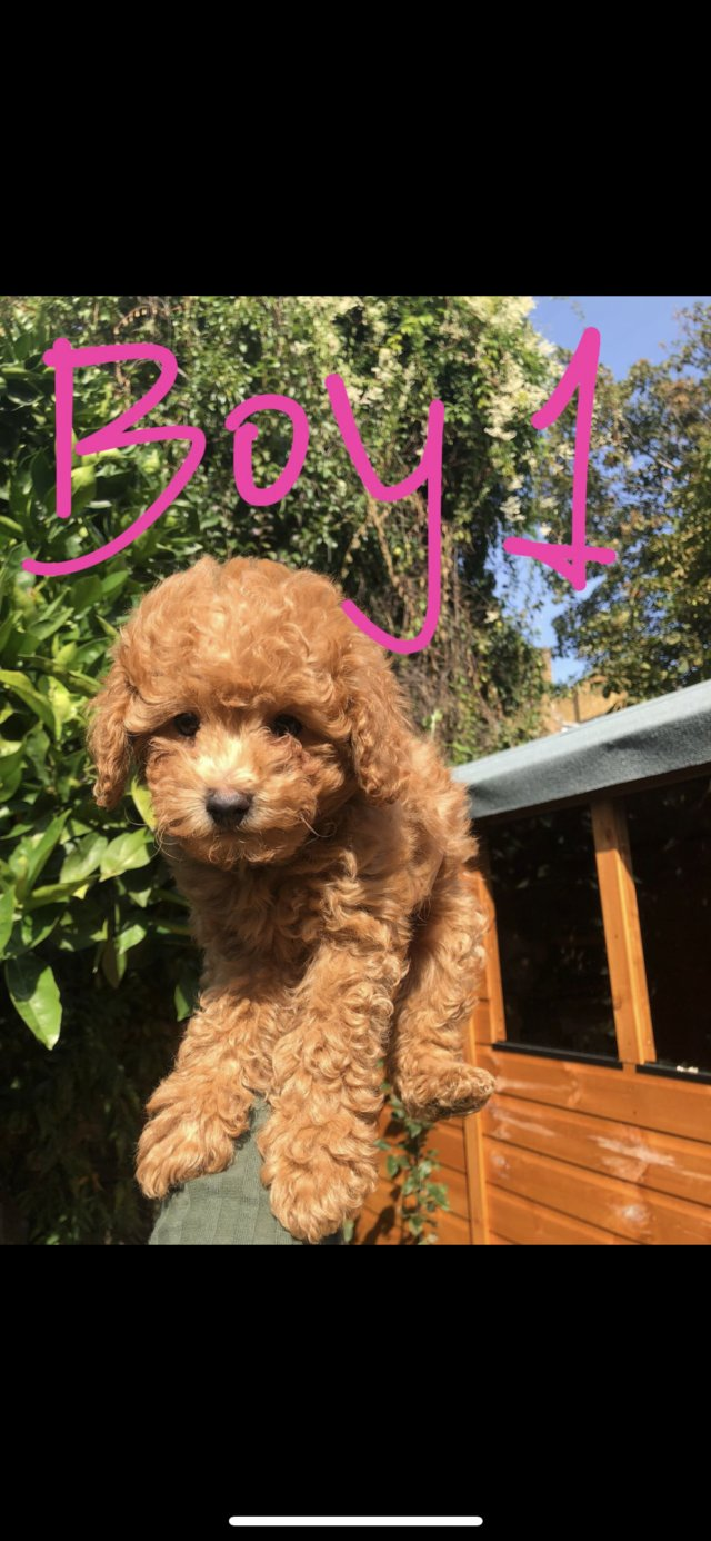 Image 15 of Super Tiny toy poodle puppies.
