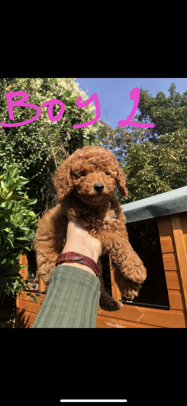 Preview of the first image of Super Tiny toy poodle puppies..