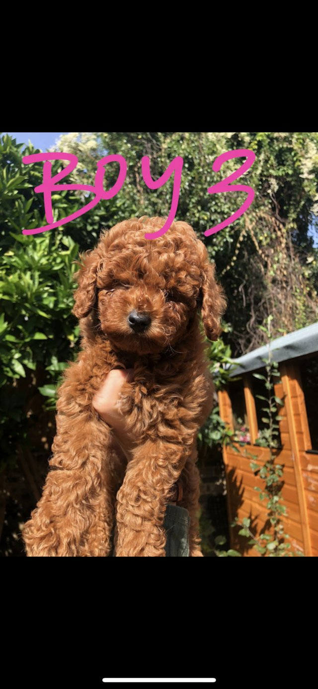 Image 16 of Super Tiny toy poodle puppies.