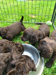 Image 3 of Working cocker spaniel puppies