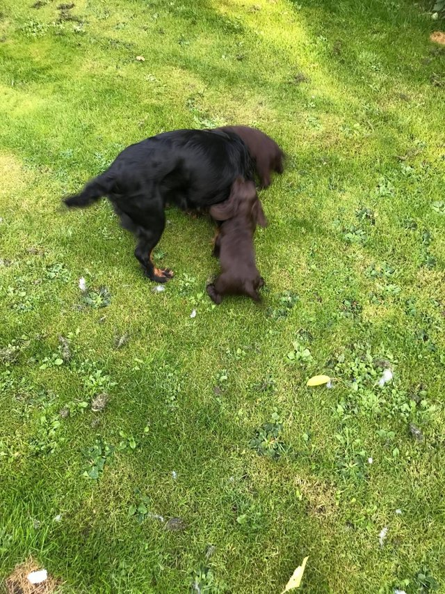 Image 4 of Working cocker spaniel puppies