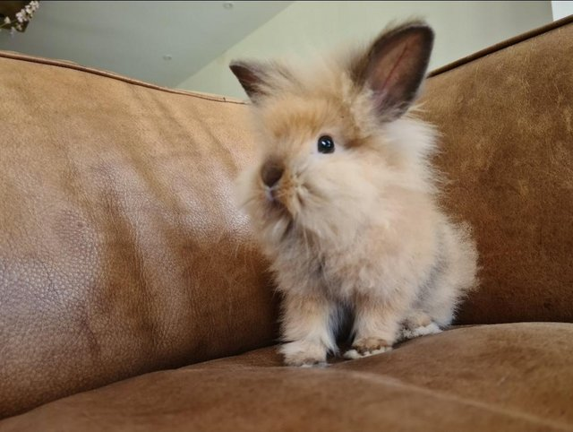 Preview of the first image of Beautiful buck rabbit, dwarf lop X Lionhead.