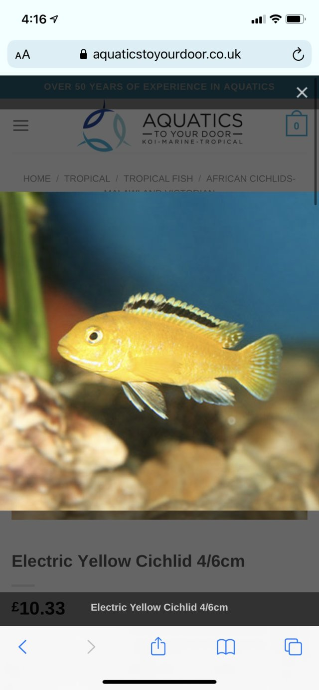 Preview of the first image of MalawiYellow cichlid fry for sale £5 each or can do a deal.