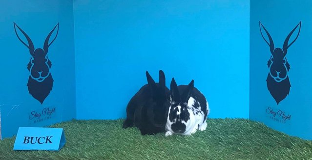 Preview of the first image of Stunning mini Rexrabbits bucks for sale bonded.