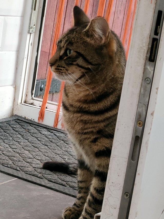 Image 2 of *MISSING* Extremely nervous tabby cat.