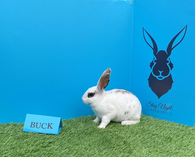 Image 2 of Stunning mini Rex babies ready for there new homes