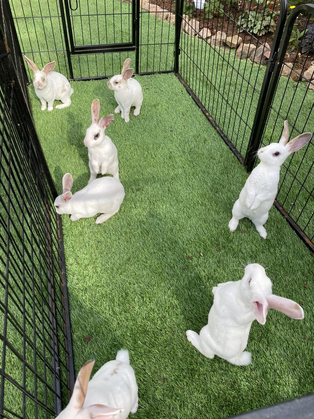 Image 4 of Stunning mini Rex babies ready for there new homes