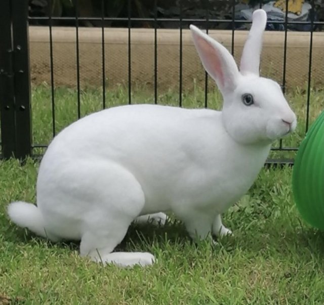 Image 5 of Stunning mini Rex babies ready for there new homes