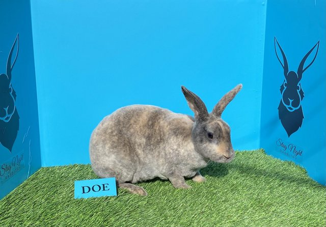 Image 6 of Stunning mini Rex babies ready for there new homes
