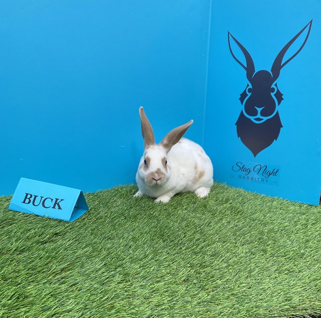 Image 7 of Stunning mini Rex babies ready for there new homes