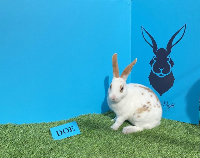 Image 9 of Stunning mini Rex babies ready for there new homes