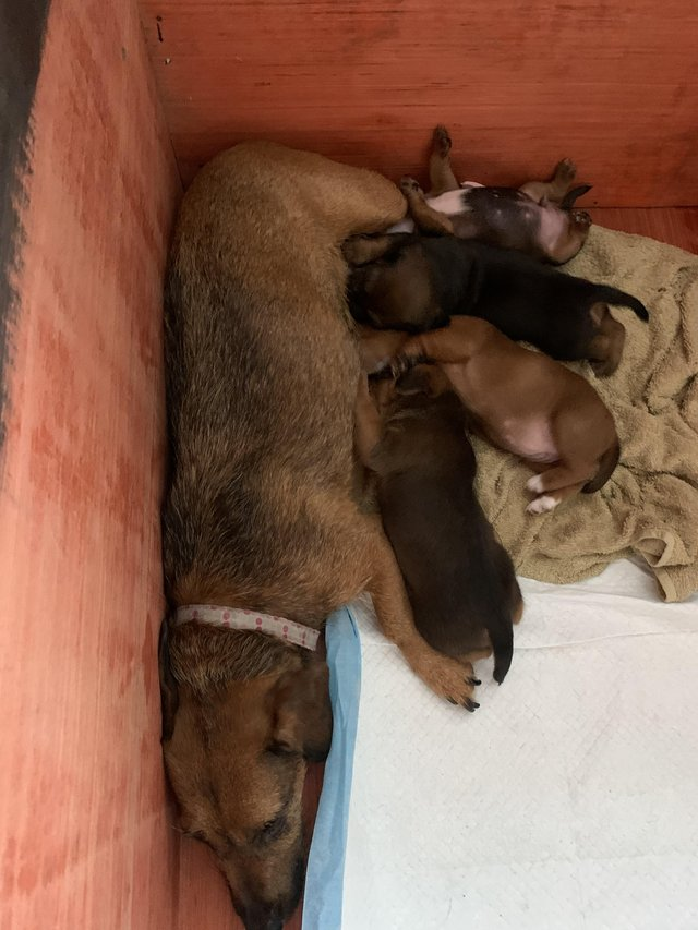 Image 4 of Lakeland x jack Russel pups for sale