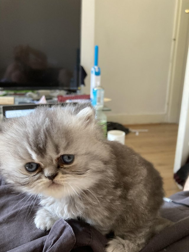 Image 2 of Adorable Persian kittens for sale