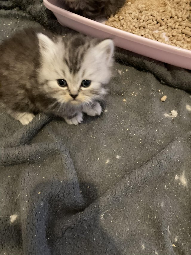 Image 5 of Adorable Persian kittens for sale