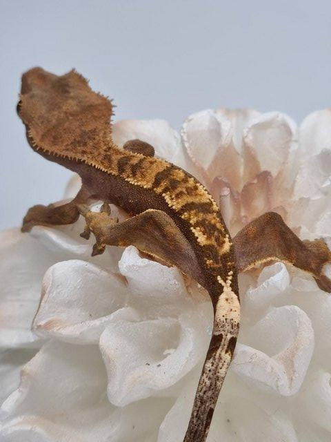 Preview of the first image of CB21 50% Pinstripe Harlequin Crested Gecko.