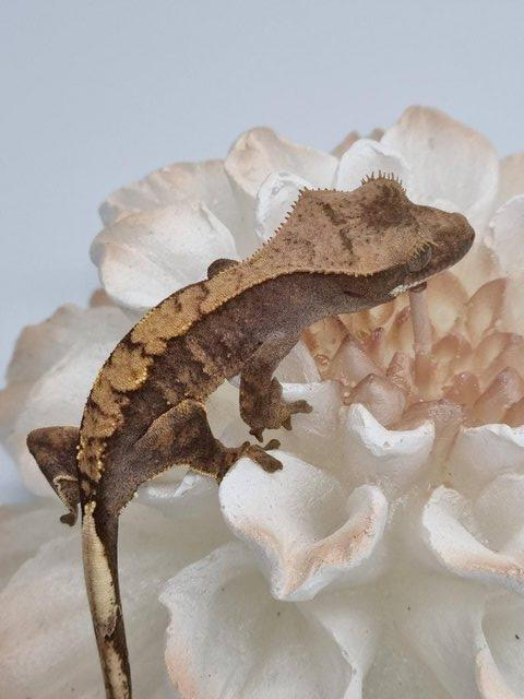 Preview of the first image of CB21 Harlequin Crested Gecko Unsexed.