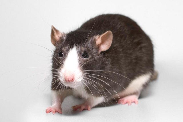 Preview of the first image of Anyone selling Rats? (Looking for RATS) £££.