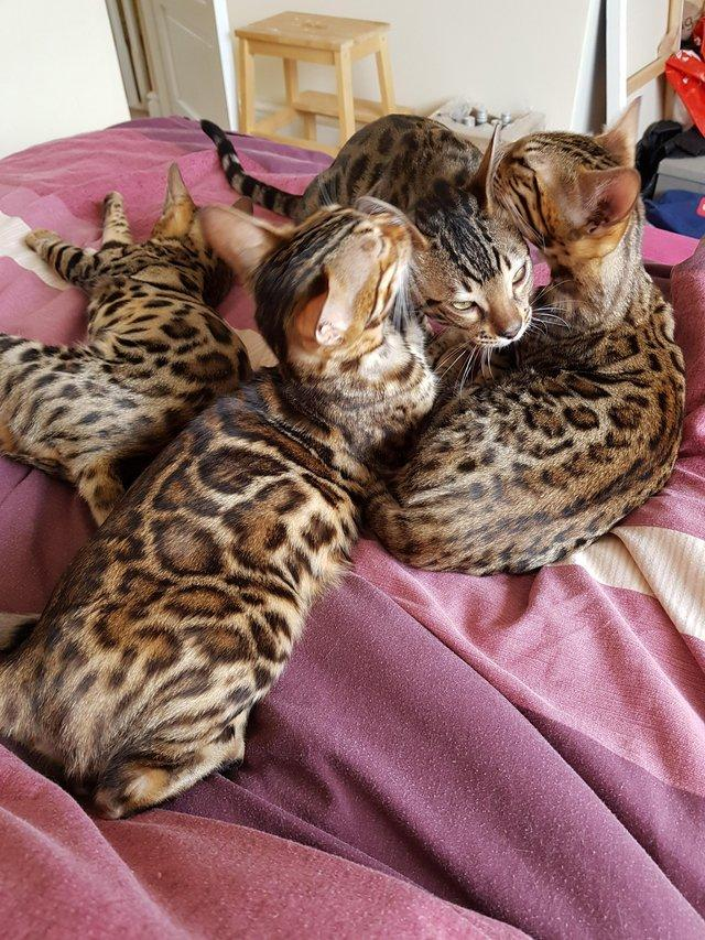 Image 5 of Bengal kittens 2 females and 1 male