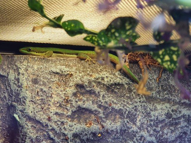 Preview of the first image of Juvenile lined day geckos for sale.