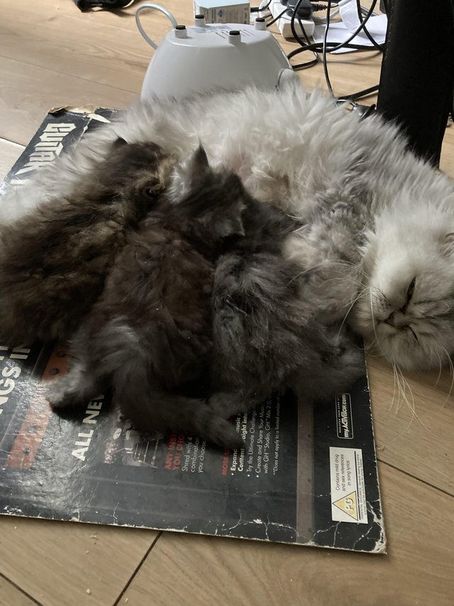 Image 6 of Adorable Persian kittens for sale