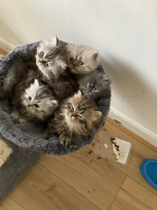 Preview of the first image of Adorable Persian kittens for sale.