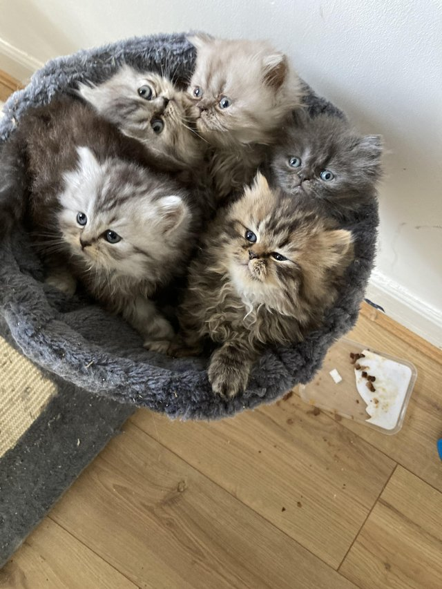 Image 8 of Adorable Persian kittens for sale