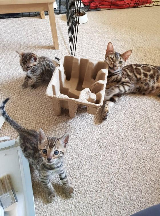 Image 6 of Bengal kittens 2 females and 1 male