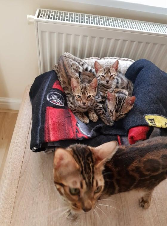 Image 7 of Bengal kittens 2 females and 1 male